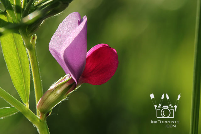 Common Vetch wildflowers in Napa California Greeting Card @ InkTorrents.com by Soma