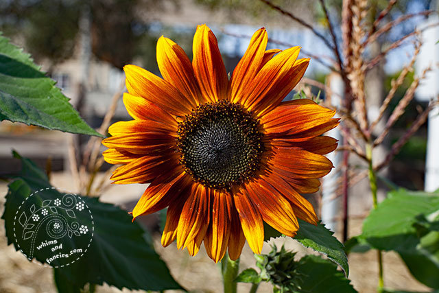 Autumn Sunflower | Whims And Fancies