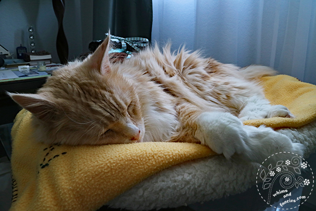 My Orange Maine Coon Kitty | Whims And Fancies
