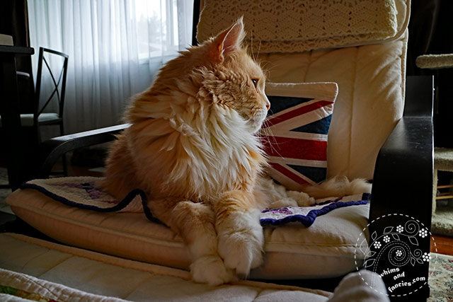 Orange Maine Coon | Whims And Fancies