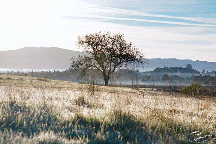 California Wine Country Morning Sunlit Tree Photography | Whims And Fancies