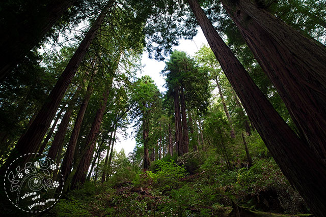 Muir Woods | Whims And Fancies
