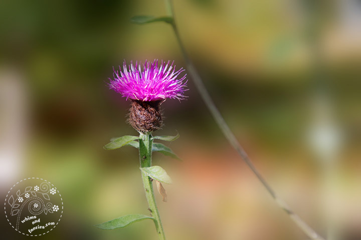 Scottish Thistle | Whims And Fancies