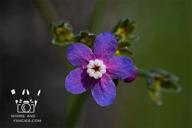 Northern California Wildflower | Whims And Fancies