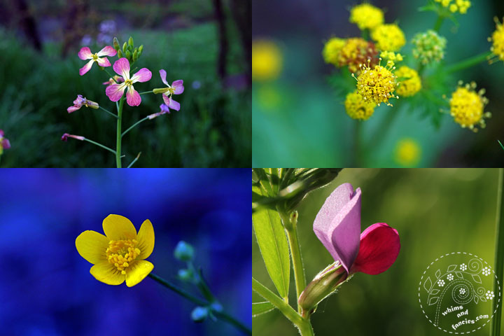 Northern California Wildflowers - Wild Radish, Butterweed, Buttercup, Spring Vetch | Whims And Fancies