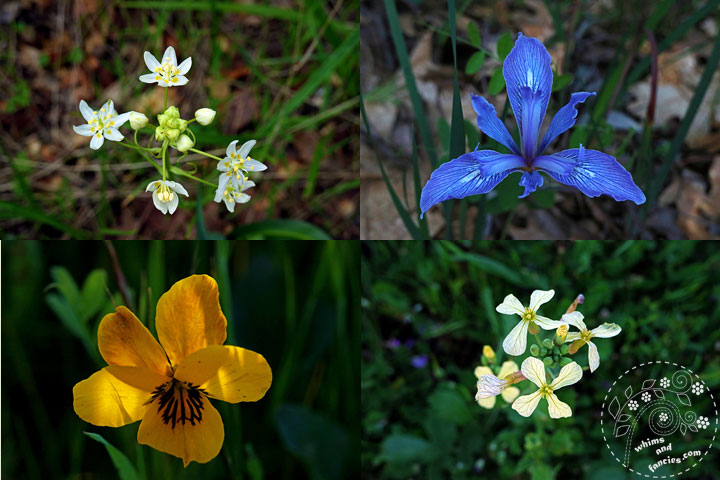Northern California Wildflower Star Lily, Douglas Iris, Redwood Violet, Wild Radish | Whims And Fancies